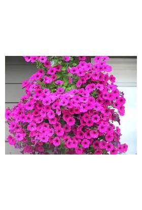 Agrobazaar Petunya Çiçeği Tohumu 50 Adet Tohum