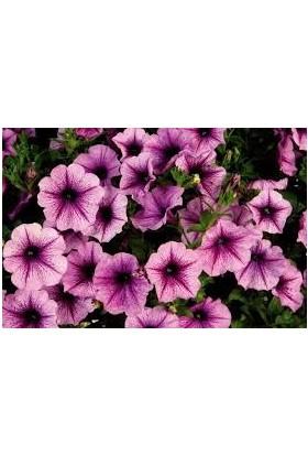 Agrobazaar Petunya Çiçeği Tohumu 50 Tohum