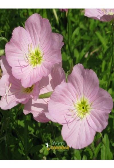 Agrobazaar Akşam Ezanı İle Çiçek Açan Ezan Çiçeği-50 Adet