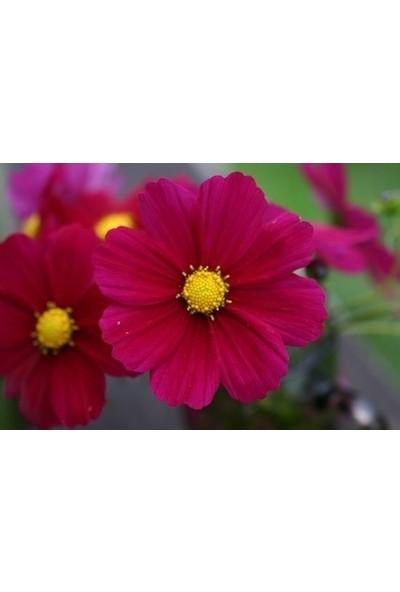 Agrobazaar Cosmos Çiçeği Tohumu 25 Tohum