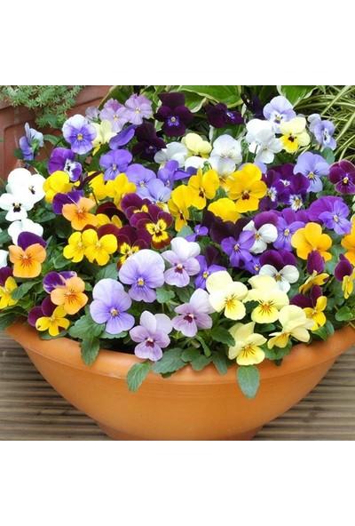 Agrobazaar Karışık Hercai Menekşe Çiçeği Tohumu 40 Tohum