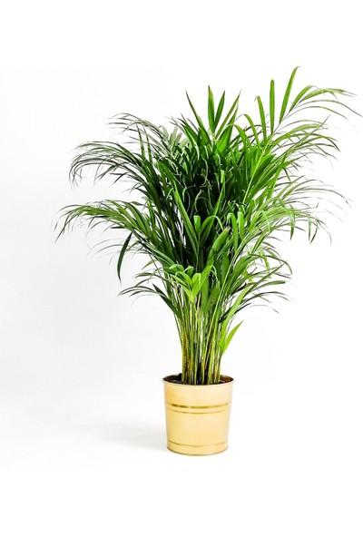 Fidan Burada Areka Palmiyesi-Areca Dypsis Lutescens 120-140 Cm Dekoratif Saksılı
