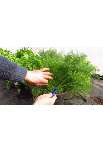 Agrobazaar Tohum Seti ( Roka Maydanoz Dereotu Tere Tohumu Toplam 100 Gram )