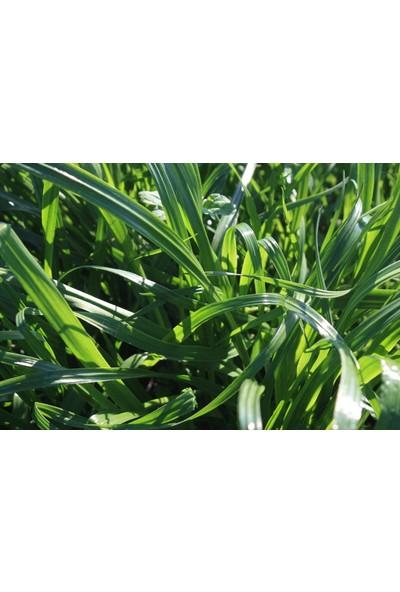 Ulusoy Tohumculuk Caramba Yem Bitkisi Tohumu Tetraploid Ryegrass 25Kg