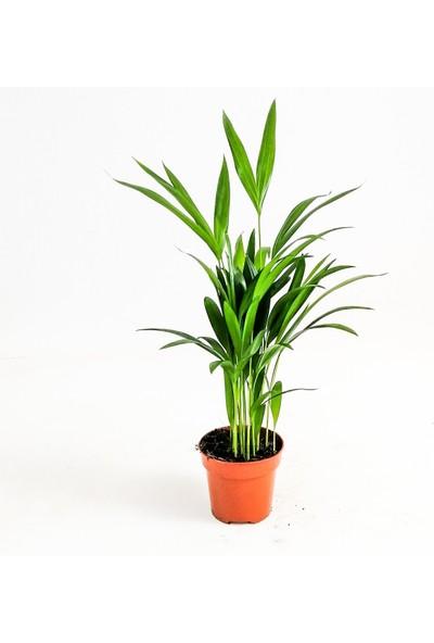 Fidan Burada Areka Palmiyesi Areca Dypsis Lutescens 50 cm