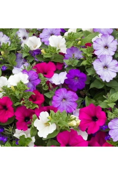 Plantistanbul Petunya Çiçeği Karışık Renk Çiçek Tohumu +-100'lü
