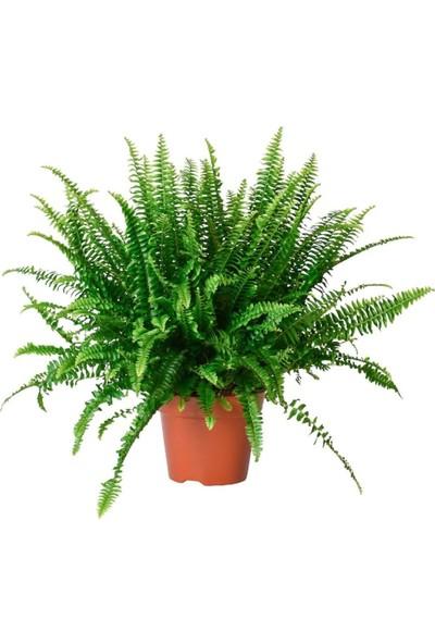 Salon Bitkileri Aşk Merdiveni Çiçeği