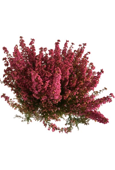 Armenbotanik Erica Erika Carnea Funda Çiçeği