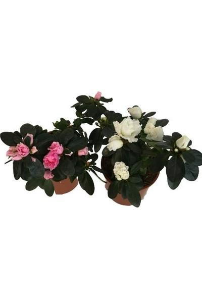 Armenbotanik 2'li Açelya Çiçeği