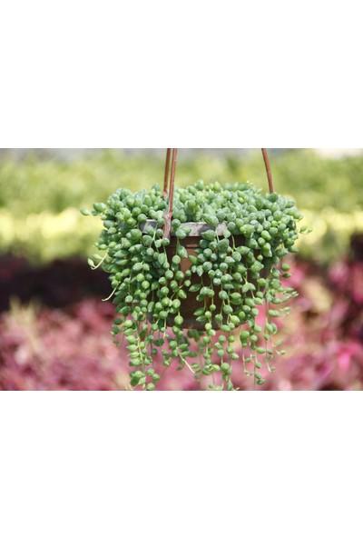 Tunç Botanik Tesbih Çiçeği Askılı Saksıda