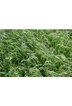Agrobazaar Ryegrass Otu Tohumu Süt Otu Tohumu 20 kg