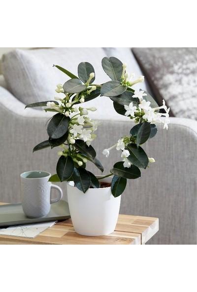 Salon Bitkileri Madagaskar Yasemini Stephanotis Çiçeği Beyaz