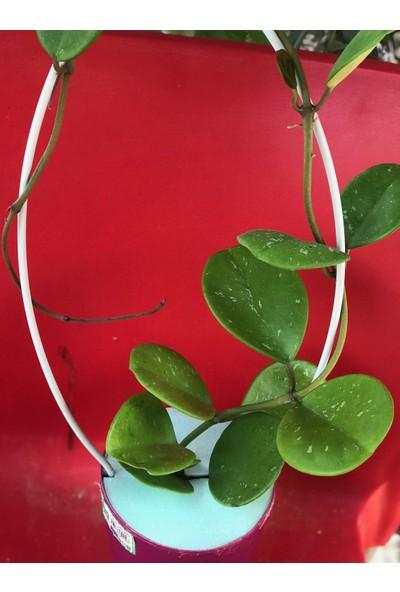 Akdeniz Tarım Hoya Obavata Kokulu Mum Çiçeği Bitkisi