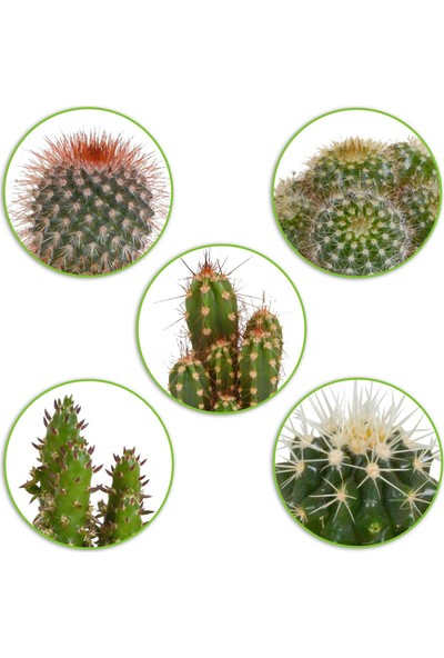 Salon Bitkileri Kaktüs Mix 5'li