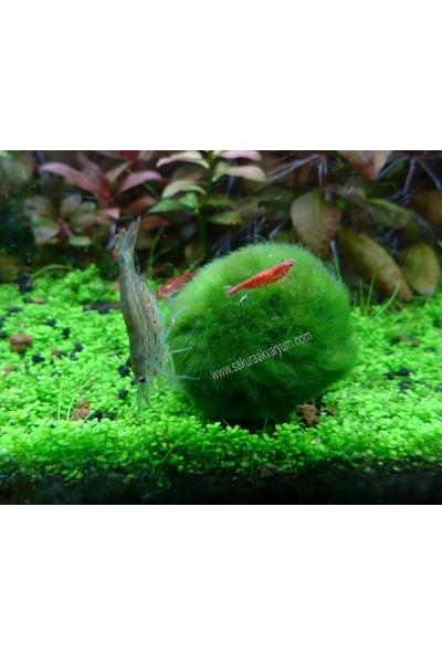 Akvaryum Bitkileri Mossball 3-5 cm