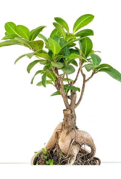 Maison M Bonsai Ağacı Ficus Ginseng