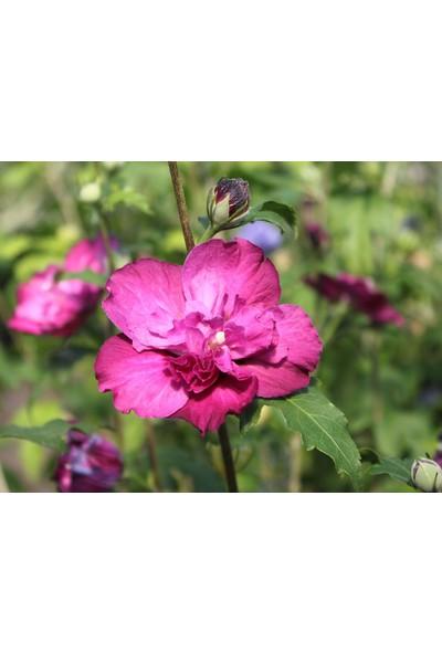 Plantistanbul Hibiscus Syriacus Purple Ruffles Pembe Katmerli Pembe Ağaç Hatmi