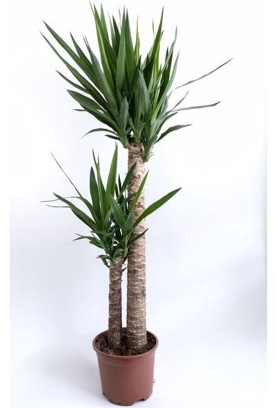 e-Botanik Iki Gövdeli Yuka(Yukka) Çiçeği 140 cm