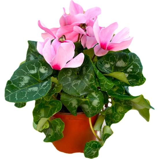 Bitkifidanım Sıklamen Çiçeği Açık Pembe- Cyclamen 20-30 cm