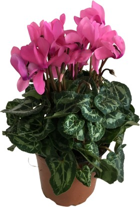 Armenbotanik Iki Adet Cyclament - Sıklamen - Göçmen Çiçeği (Pembe Renk)
