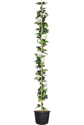 Taskar Peyzaj Beyaz Kokulu Sarmaşık Gül Fidanı 120-150 cm