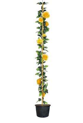 Taskar Peyzaj Sarı Kokulu Sarmaşık Gül Fidanı 100 cm