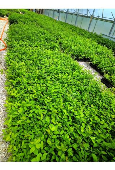 Bursa Tarım Bursatarım Elizabeth Yaban Mersini Fidanı ( Likapa - Mavi Yemiş ) Blueberry