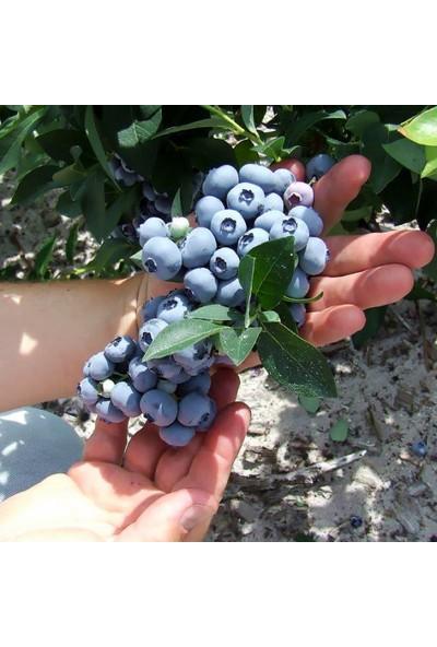 Bursa Tarım Hannah's Choices Yaban Mersini Fidanı ( Likapa - Mavi Yemiş )