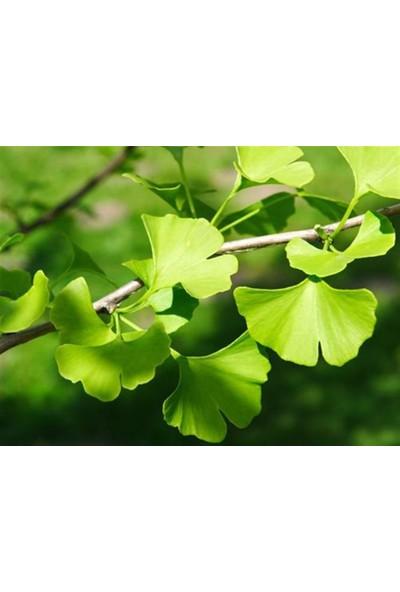 Bursatarım Ginkgo Biloba Mabet Ağacı Fidanı