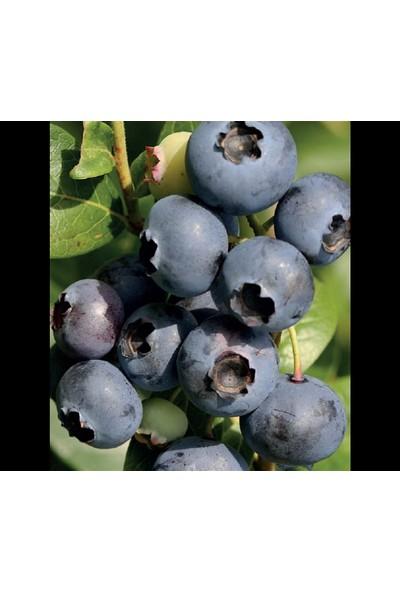 Bursa Tarım Elizabeth Yaban Mersini Fidanı ( Likapa - Mavi Yemiş ) Blueberry
