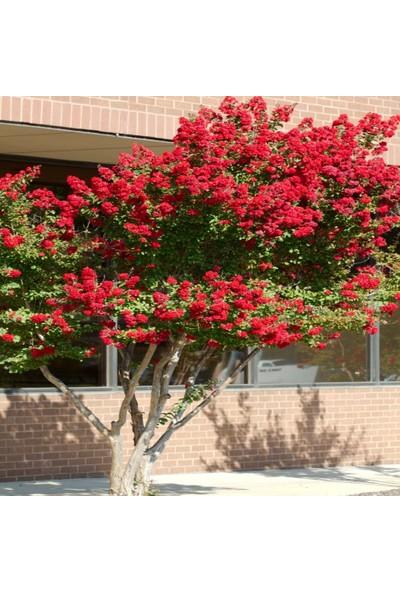 Bursa Tarım Bursatarım Oya Ağacı ( Kırmızı Çiçekli)