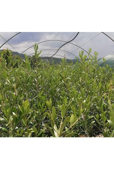 Net Tarım 4 Adet Ispanyol Arbequina Bodur Zeytin Fidanı 1 Yaşlı 30-60 cm