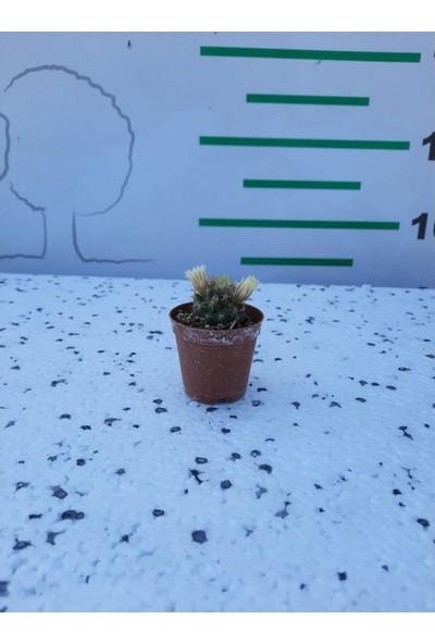 Greenmall Parodia Cactus