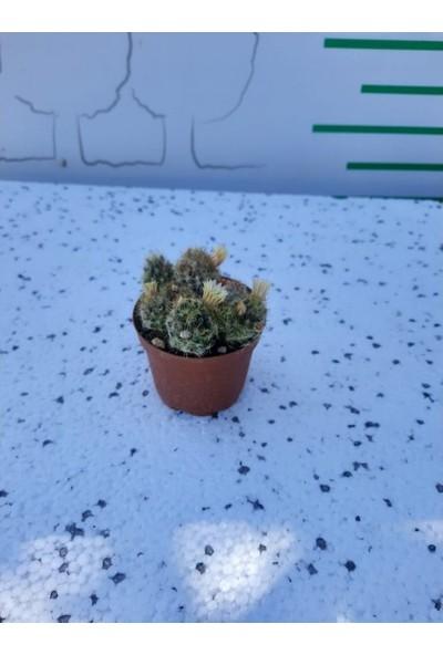 Greenmall Parodia Cactus 2
