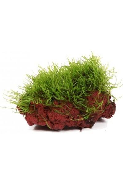 "Canlı Petshop Moss ""kayaya Tutturulmuş Java Moss"""