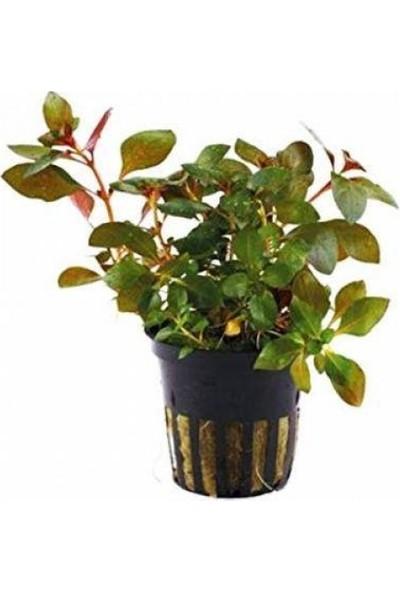 Akvaryum Bitkileri Gül Kırmızı 1 Saksı