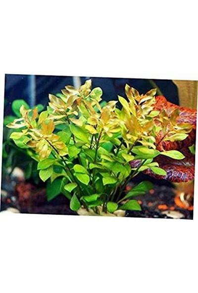Akvaryum Bitkileri Gül Yeşil 5 Kök