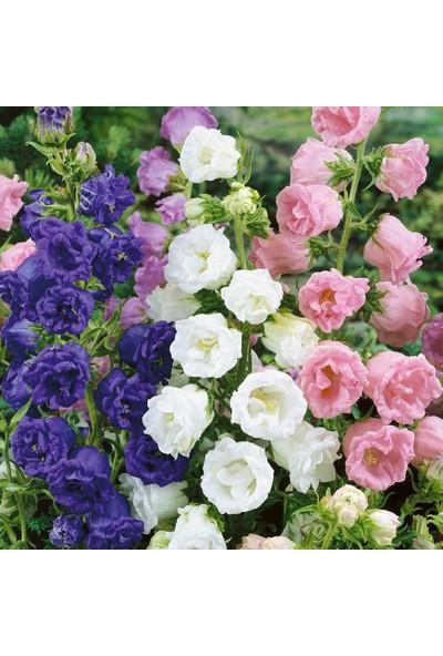 Baktar Calycanthema 'cup & Saucer' Campanula Karışık Çan Çiçeği Tohumu (100 Tohum)