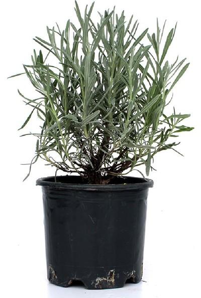 Renk Sepeti Lavanta - Lavandula Officinalis 20-40 cm