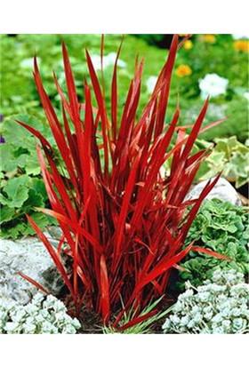 1001fidan Imperata Cylindrica 'Red Baron' Japon Kan Çimi