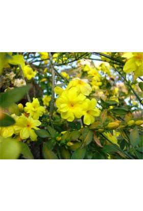 1001fidan Jasminum nudiflorum Çalı Yasemin Sarı Yasemin Fidanı 40 - 60 cm