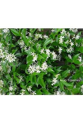 1001fidan Rhyncospermum Jasminoides Arap Yasemin Fidanı 80 - 120 cm