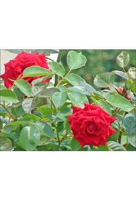 1001fidan Rosa Magnum Kırmızı Gül Fidanı