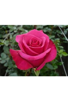 1001fidan Rosa Hot Princess Kokulu Pembe Gül Fidanı