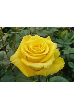 1001fidan Rosa High Yellow Sarı Gül Fidanı
