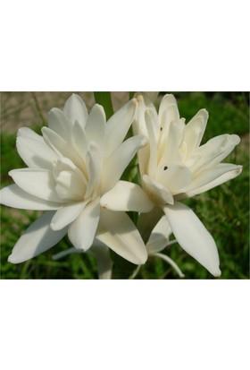 1001fidan Polıanthes Tuberosa Sümbül Teber, Sümbülteber Soğanı