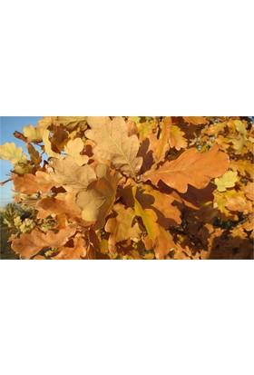 1001fidan Quercus Robur Saplı Meşe, Palamut Fidanı