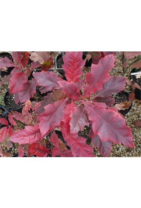 1001fidan Quercus Rubra Kırmızı Meşe Fidanı