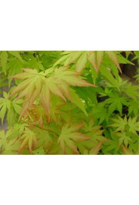 1001fidan Acer Palmatum, Japon Akçaağaç Fidanı 20 - 40 cm