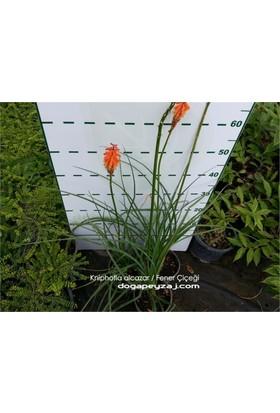 1001fidan Kniphofia Alcazar Fener Çiçeği